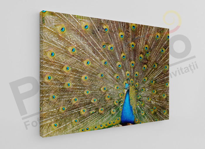 Imagine Tablou canvas animale PX 20014 paun
